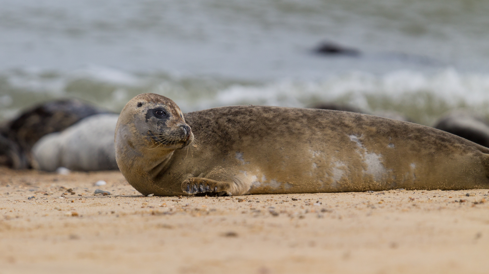 Norfolk Seal 07
