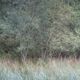 Yew Tree Study #1